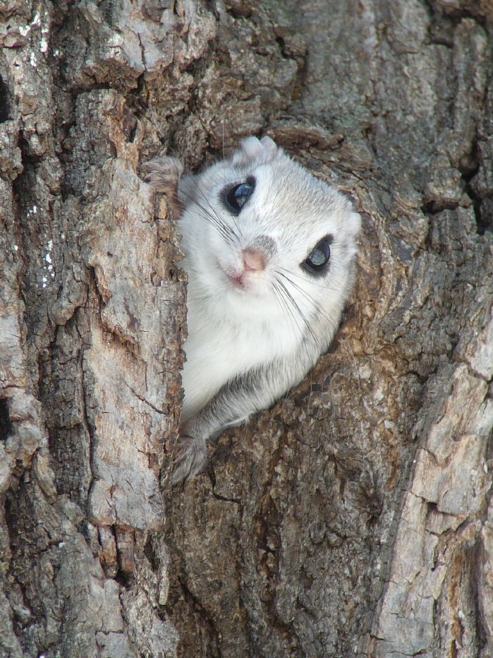 Siberian Flying Squirrel by Mark Brazil: Pteromys volans weighs about 150 g and measures 13-20cm in length with a 9-14cm flattened tail. By spreading a flap of skin which stretches between the front and rear legs, the squirrel can glide from tree to tree over a hundred meters, steering with its tail. http://en.wikipedia.org/wiki/Siberian_flying_squirrel #Flying_Squirrel