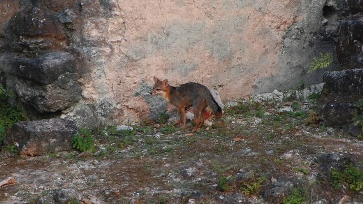 Mama Fox Moving Den with Pups in Mayan Ruins of Tikal https://www.youtube.com/watch?v=aw4nrfc0YRY