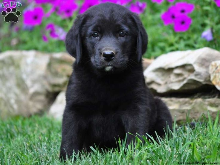 Marshall, Labernese puppy for sale from Paradise, PA