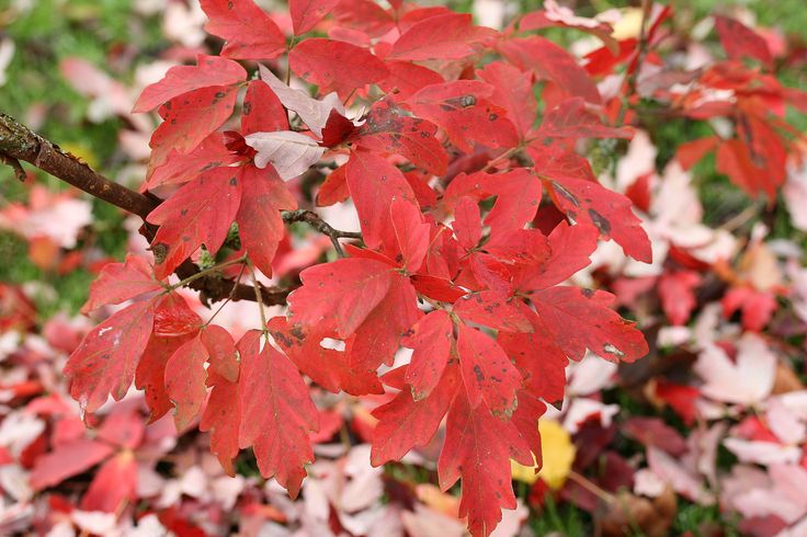 Acer griseum - leaves palmately compound with three leaflets - blunt teeth on margins - dark green - red in autumn - attractive orange/red peeling bark = year round interest -