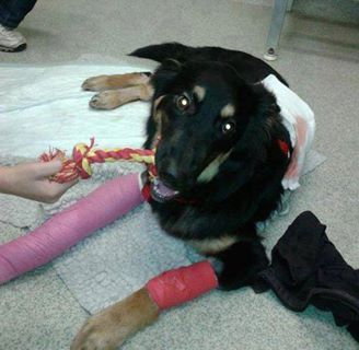 Meet Geo. He was injured saving a 10 year old boy from a car. Love him for his heroism and wish him a quick recovery!