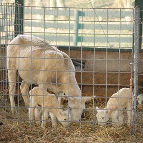 Best 25 Goat Fence Ideas On Pinterest Goat Hay Feeder