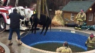 Snorting Noise Leads Rescuers to a Cow Trapped in a Swimming Pool