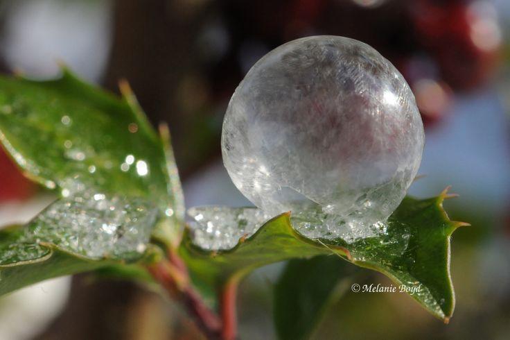 Polar Vortex 2014: A frozen bubble on my holly.