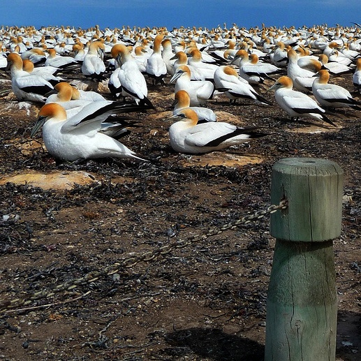 a gannet colony in hawke's bay, new zealand by leo reynolds, via flickr