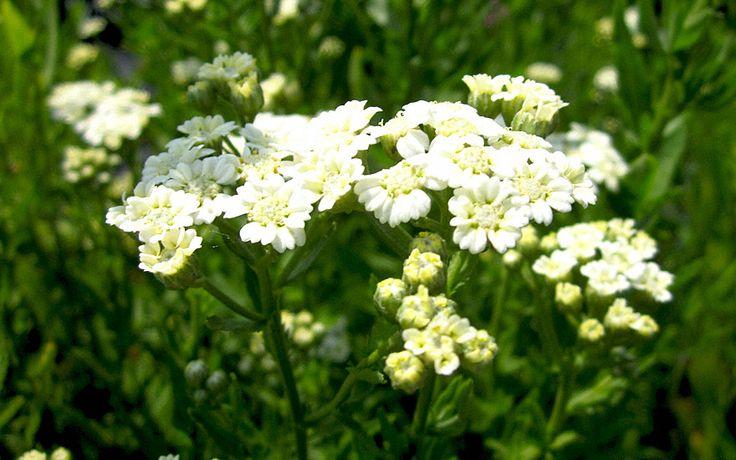 Muskatkraut (Pflanze) Besonders der Frühjahrsaustrieb mit Frühlingszwiebel...mmh Geben Sie dieser Staude einen feuchten, halbschattigen Platz. Dies ist sozusagen die Schafgarbe zum Würzen. Die Blätter sind wesentlich zarter und der Geschmack erinnert an Muskatnuss. Passt gut an Salate. Cremefarbene Blüten erscheinen den ganzen Sommer. Das Muskataroma kommt am besten heraus, wenn man es in mit etwas Lauchigem, wie Zwiebel, Schnittlauch oder Knoblauch kombiniert.