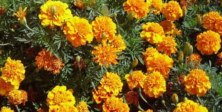 As Tagetes são fundamentais para combater as pragas na sua horta. Conheça todos os benefícios desta planta.