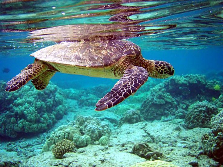 Liberar tortugas marinas no significa ser consciente. Hay mucho más atrás de cuidar a estos animales en solo liberarlos. Reflexiona al leer sobre estos increíbles animales en este artículo.