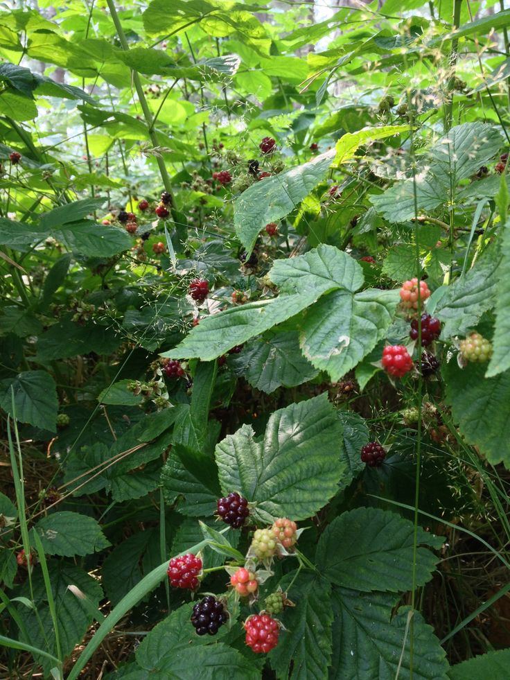 Brambles in fruit. Arley wood, Nuneaton.