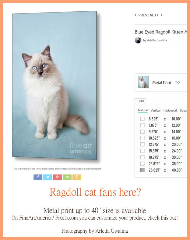 """Ragdoll cat fans! Check it yourself -  FineArtAmerica/ Pixels.com offers metal print at 40"""" size. Go to the link and choose your size. Photography by Arletta Cwalina. See more clothes and home decor ideas and if you love it, feel free to share, maybe your friends would like to have it :)"""