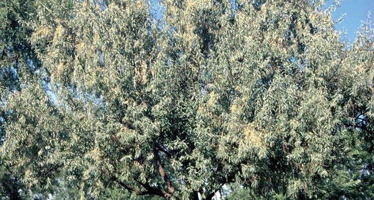 olivo di boemia