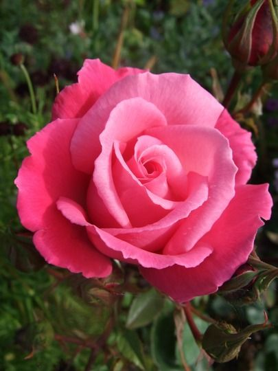 Prima ballerina - beautiful and the most lovely scent - the very first rose I was allowed to choose to add to our garden as a child