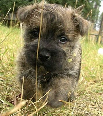 Cairn Terrier - just look at that little face! I want another Cairn... Lucky was the best!!!