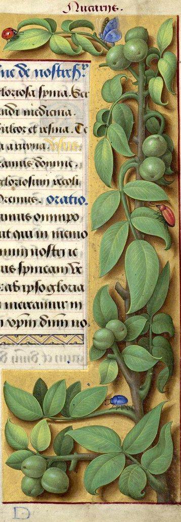 [nom effacé] - Nucariis (Juglans regia L. = noix) -- Grandes Heures d'Anne de Bretagne, BNF, Ms Latin 9474, 1503-1508, f°212r