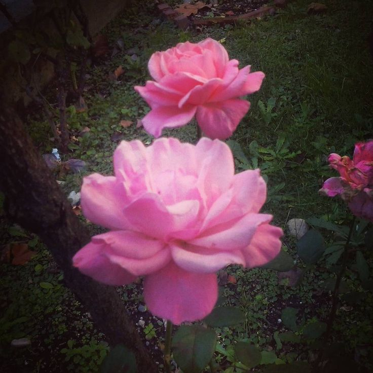 Rosa, -ae, Meravigliosa, -ae #rose #flowers #pink #fall #autumn
