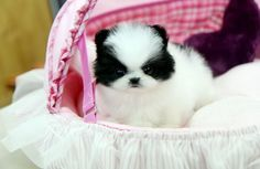 Teacup Pomeranian Puppies for Adoption, Pomeranian Puppies for adoption