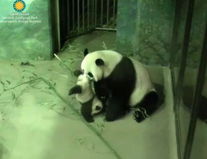 Here, Mei Xiang helps Bei Bei do an acrobatic panda handstand. | Bei Bei The Giant Panda Cub Couldn't Be Bothered At His First Press Conference - BuzzFeed News