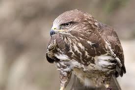 polskie ptaki drapieżne