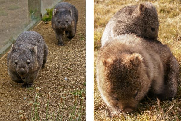 Common Wombats are a stand-out feature of the wildlife parks around Tasmania.  Article and photos by Carol Haberle for www.think-tasmania.com
