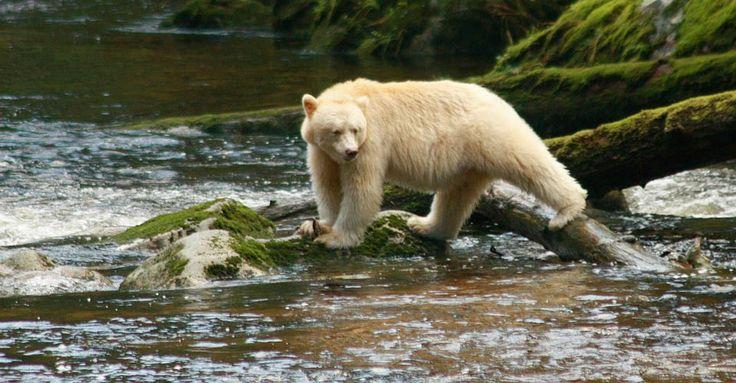 Kermode (Spirit) bear, Inside Passage, British Columbia, Canada