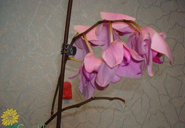 Probabil majoritatea cititorilor noştri au flori de cameră: unii îngrijesc o întreagă grădină de flori de casă, alţii se bucură şi de cele câteva ghivece de pe pervaz. În orice caz cu toţii cunoaştem situaţia în care, revenind acasă după o perioadă ceva mai îndelungată, vedem cu amărăciune că florile îndrăgite s-au ofilit…   Dar nu vă grăbiţi să vă indispuneţi sau să panicaţi! Pentru început verificaţi frunzele plantei: înlăturaţi-le pe cele uscate şi îngălbenite. Apoi afânaţi solul pentru…