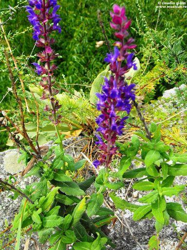 Jaleş de câmp ( Salvia nemorosa ). Flori mov de câmp