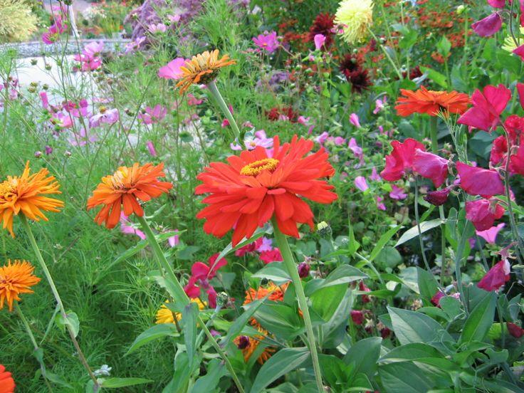 Zinnien Zinia beautiful colors