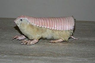 The pink fairy armadillo (Chlamyphorus truncatus) or pichiciego is the smallest species of armadillo (mammals of the family Dasypodidae, mostly known for having a bony armor shell). It is found in central Argentina, where it inhabits dry grasslands and sandy plains with thorn bushes and cacti.