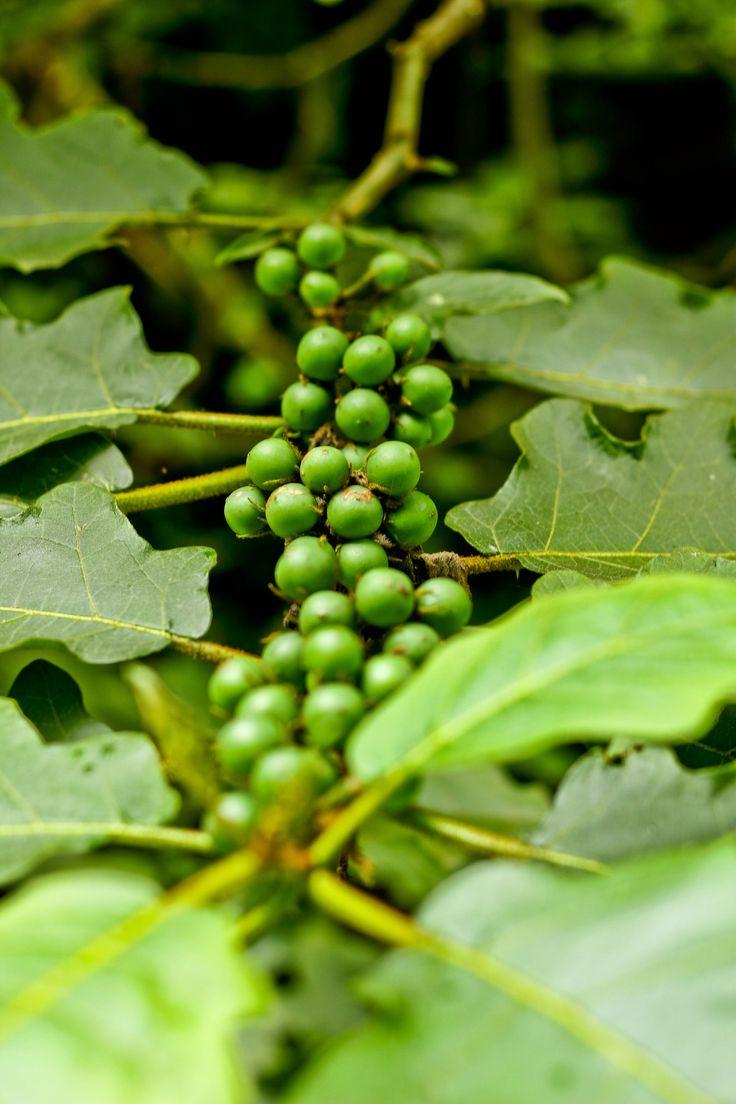 Buah Takokak. Orang Sunda biasa memakannya sebagai lalapan dan ini merupakan obat kanker. Katanya lho.