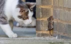 Gato acecha ratón. Es su naturaleza