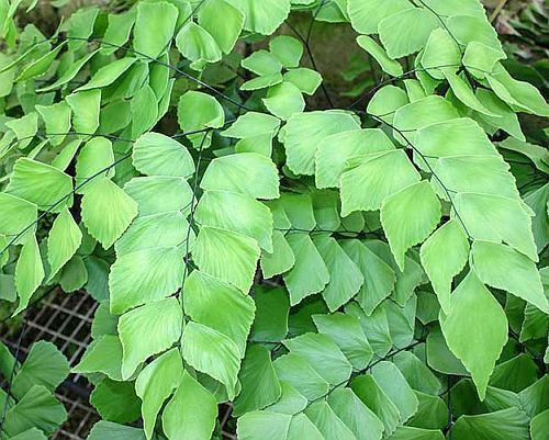 Adiantum trapeziforme giant maidenhair fern - diamond maidenhair fern graines