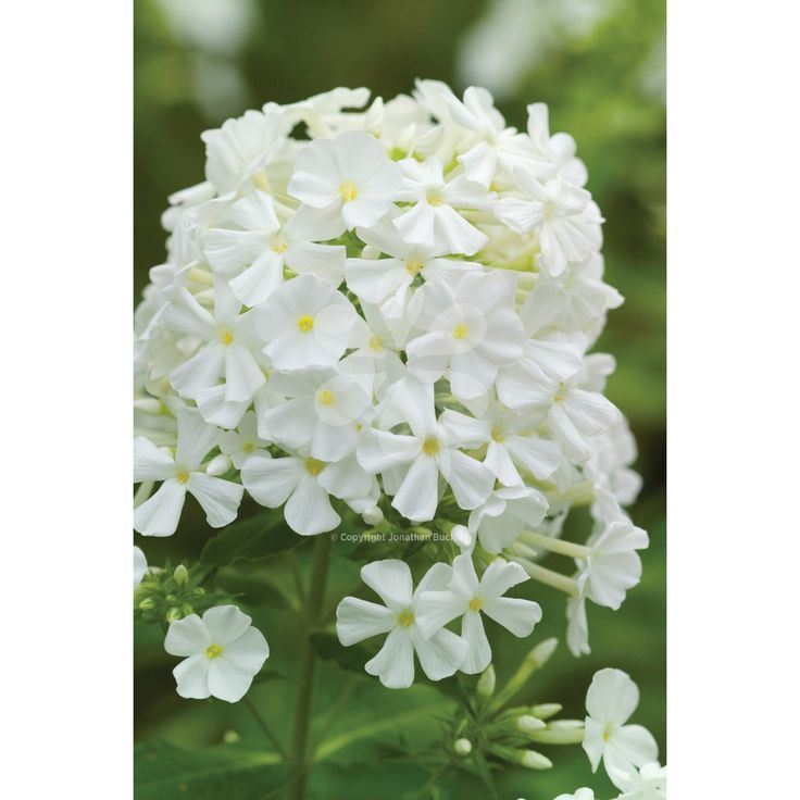 103 best garden back garden plants images on pinterest garden phlox david is one of the best of the white phloxes with vigorous mightylinksfo Image collections