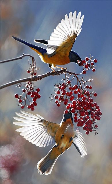 Spectacular technical skill displayed here.  Great bokeh and rich colors.  too many would make the mistake of photographing from the light side when exposing for the shadows gives the wings such beautiful highlights.    Beautiful birds on the wing feasting on red berries!