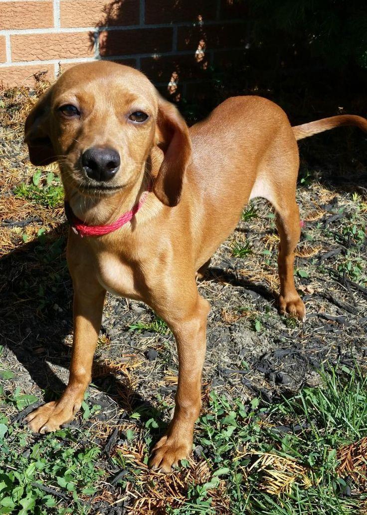 micro mini dachshund puppies for sale in ohio