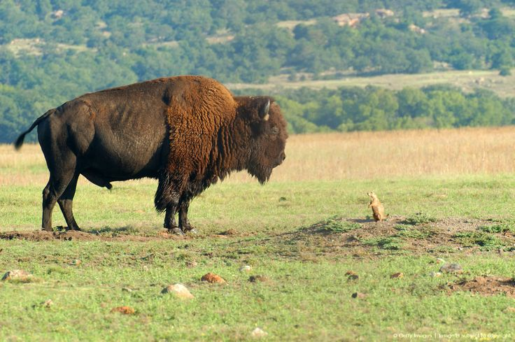 Bison bull (Bison bison) and a black-tailed prairie dog (Cynomys ludovicianus). Wichita Mountains Wildlife Refuge, Comanche County, Oklahoma.