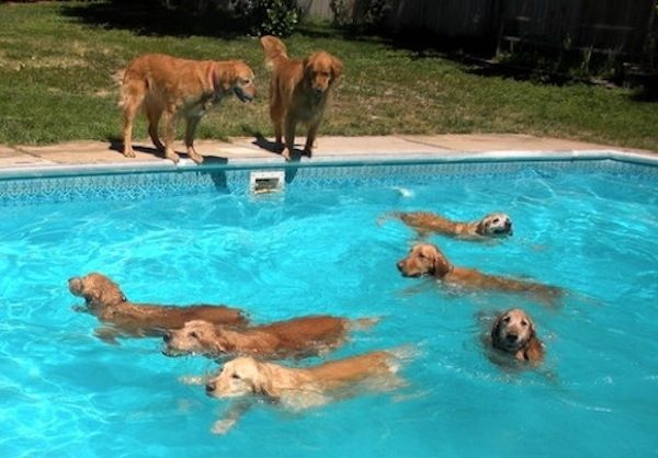 Funny Swimming Pool : Best images about doggies do and a cat or two okay