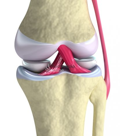 Los ligamentos de la rodilla son importantes para la estabilidad, en particular, en el centro de la articulación están los ligamentos cruzados, llamados así porque se cruzan tanto en el plano sagital como en el frontal.