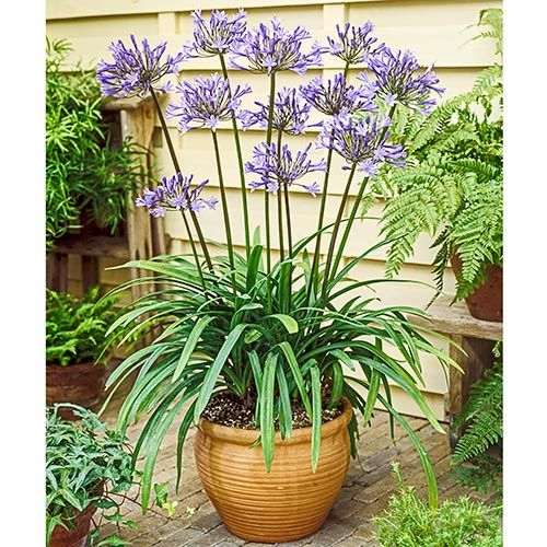 Blue Agapanthus Lily Of The Nile Buy At Michigan Bulb Lily Plants Agapanthus In Pots Agapanthus