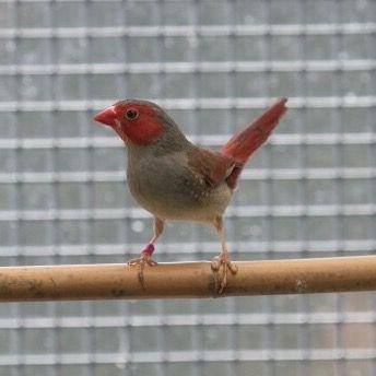 Crimson Finch (white-bellied female)