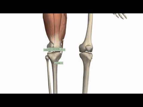 Muscles of the Thigh Part 1 - Anterior Compartment - Anatomy Tutorial