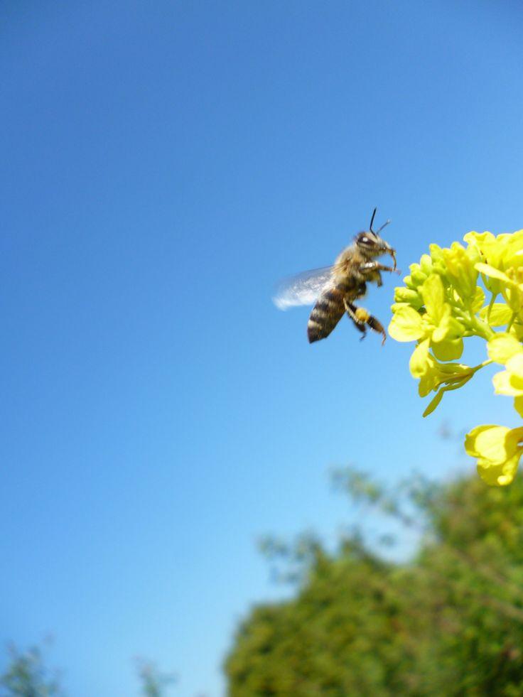 Μέλισσα στη λαψάνα (Σινάπι), φυτό απ' το οποίο παρασκευάζεται η μουστάρδα.