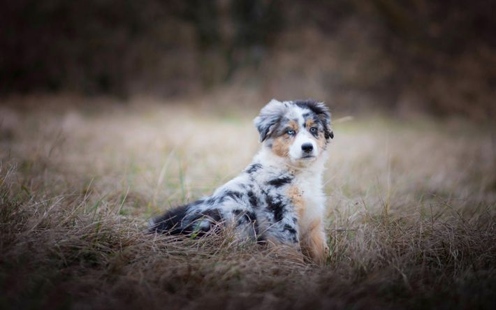 Aussie, Little Puppy, Dog, Australian Shepherd, Pets