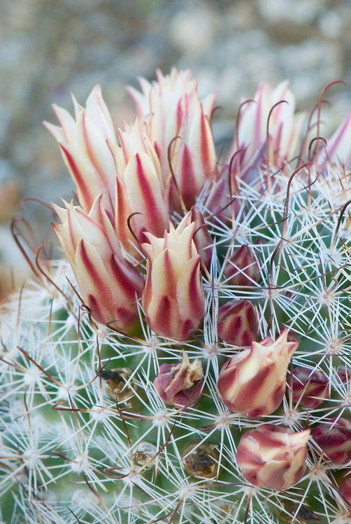 Fishhook Cactus (Mammillaria microcarpa) flowers, Sonoran Desert, Anza-Borrego State Park, California by Alan Majchrowicz