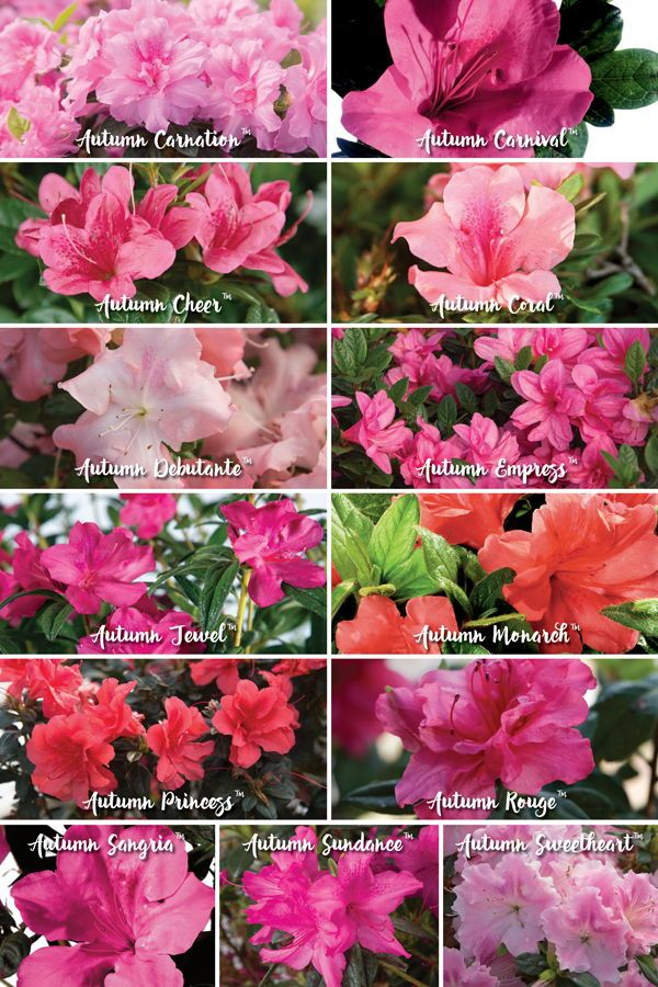How To Choose Encore Azalea Color Patterns Azalea Flower Azaleas Landscaping Azalea Color