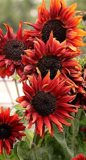 cappuccino sunflowers....#autumn #fall #fallcolor