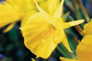 Hoop Petticoat Daffodil Golden Dragon