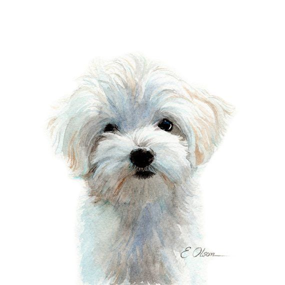 Watercolor Maltese Puppy Maltese Puppy Prints Maltese Puppy Art