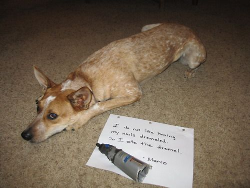 Well played, Marco.  Well played.Dogs Sprocket, Dogs Pics, Australian Cattle, Well Plays, Fur, Dogs Shaming, Cattle Dogs, Confessions, Nails Dremel