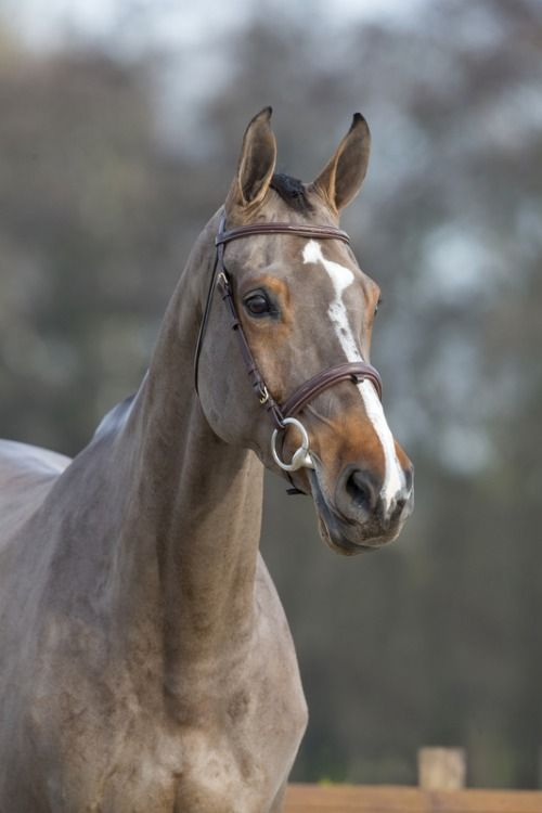 Dallas-Imoo 「Carthino Z x Sanctus Imoo」 Dutch Warmblood Mare