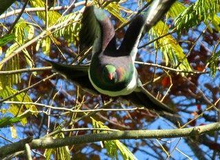 New Zealand Wood Pigeon (NZ山鳩)